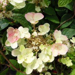 Hydrangea paniculata EARLY SENSATION 'Bulk' (PBR)